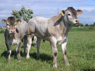 British Bazadaise Cattle Society